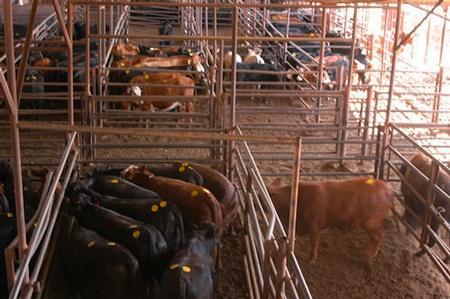 Record Cows